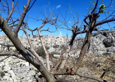 Sassi among figs